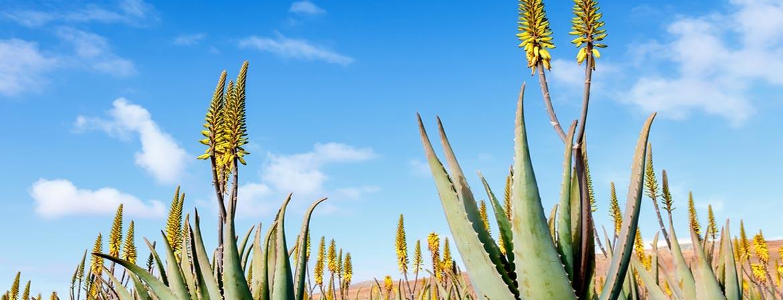 Aloe Vera / Plantation / Culture / Production / Production / Qualité
