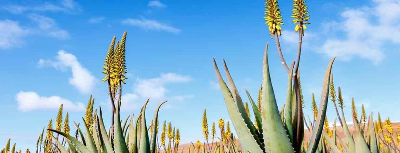 Aloe Vera Pflanze / Plantage / Anbau / Herstellung / Qualität